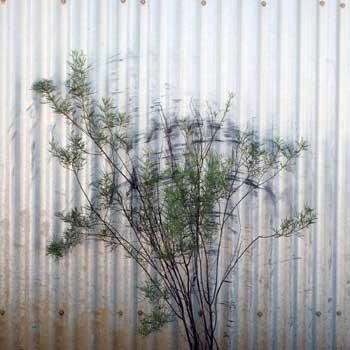 p2140-Akiq-bush