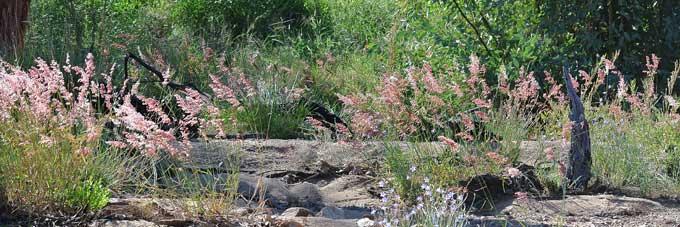 p2128-Red-Natalgrass