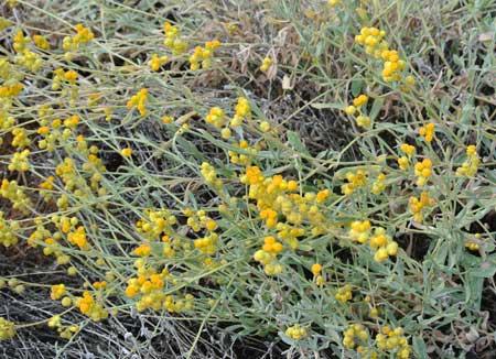p2128-perennial-daisy-4