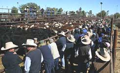 p1927-cattle-sale-SM