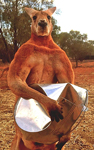 p2244-Roger-the-kangaroo-SM