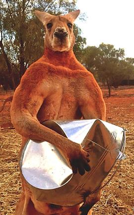 p2244-Roger-the-kangaroo