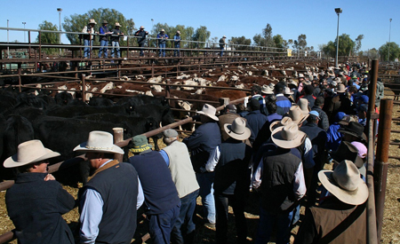 p2250-cattle-sale