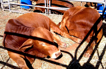 p2252-Show-bulls