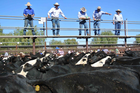 p2252-cattle-sale-6