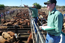 p2252-cattle-sale-SM