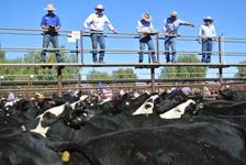p2252-cattle-sale-SM2