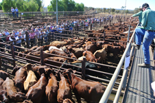 p2255-cattle-SM