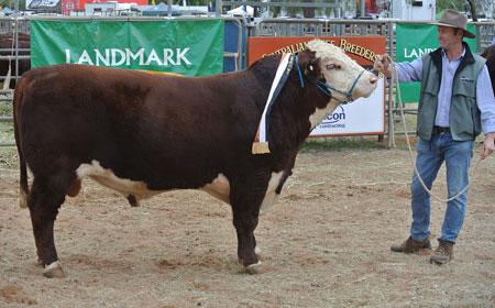 p2337-Grand-Champion-Bull