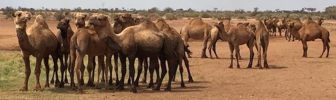 p2348 camels 1