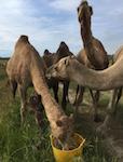 p2348 camels SM