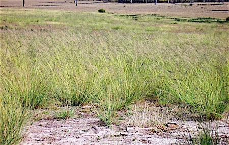 p2353 African lovegrass 1
