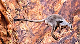 p2353-rock-wallaby-sm