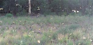 p2403 grasshoppers SM