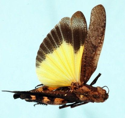 p2403 yellow winged grasshopper