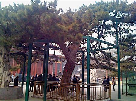 p2416 China tree 1 450
