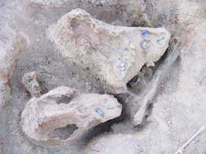 p2429 (1632) Alcoota Croc skull 300