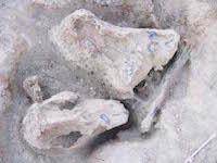 p2429 (1632) Alcoota Croc skull SM