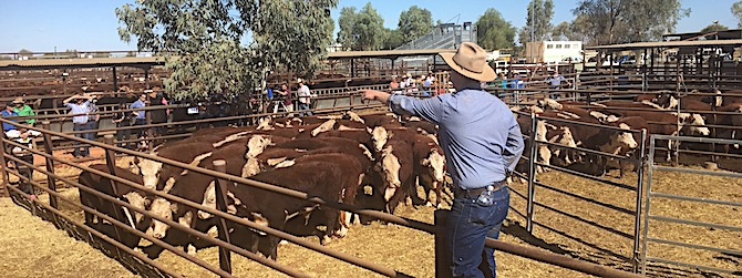 p2444 cattle sale 5 OK