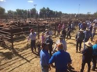 p2444 cattle sale SM
