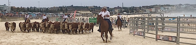 2524 Bondi cattle OK