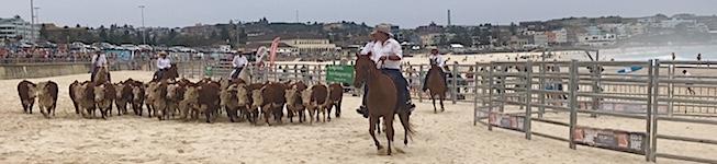 2524 Bondi cattle SM
