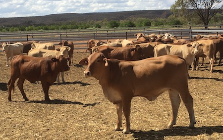 2524 Orange Creek cattle