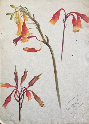 A life in flowers new account of the extraordinary olive pink p2523 olive pink art 300 mightylinksfo