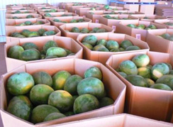 2555 water melons