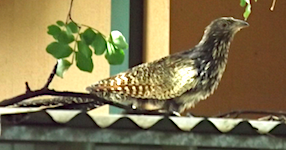 2612 Pheasant Coucal SM