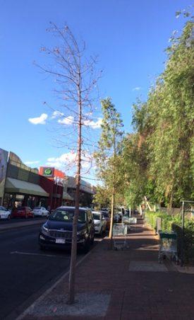 p2615 Tree Hartley Street 300
